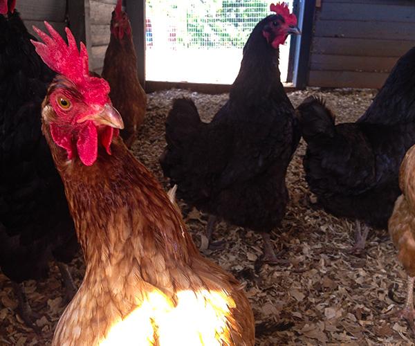 scafarms chickens