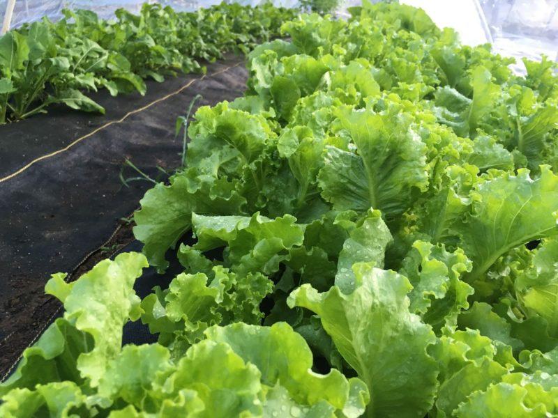 green ice lettuce