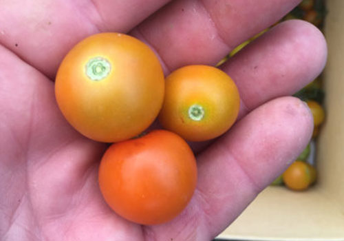 SCA Farms_sungold tomatoes