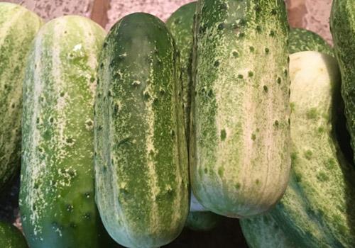 scafarms_cucumbes
